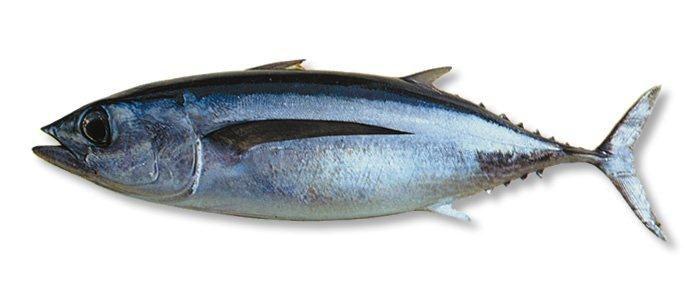 ماهو عمر سمك الباكور