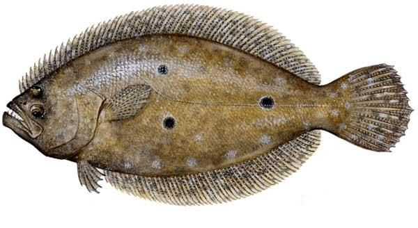 Flounder-can-survive