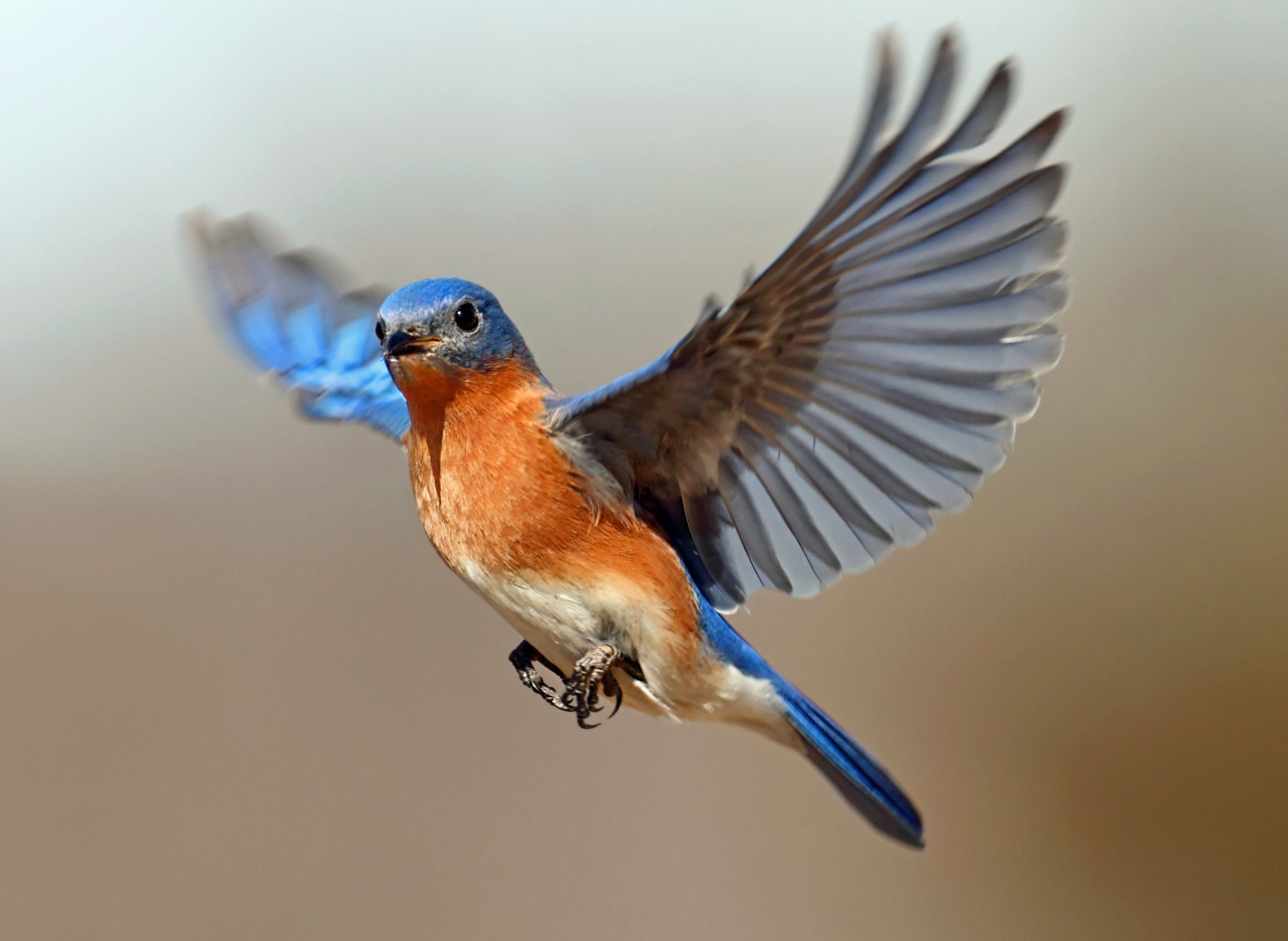 Eastern bluebird size