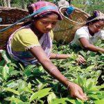 أكثر دول العالم أنتاجا للشاي