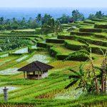 حقول الأرز Jatiluwih Rice Fields, Bali - 436055