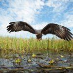 طائر حدأة الحلزون