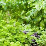 نبات شرش الزلّوع بديل طبيعي للفياجرا