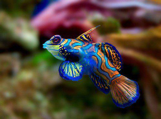سمك الماندارين
