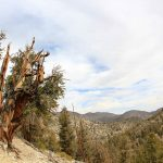 ncient Bristlecone Pine Forest - 433508