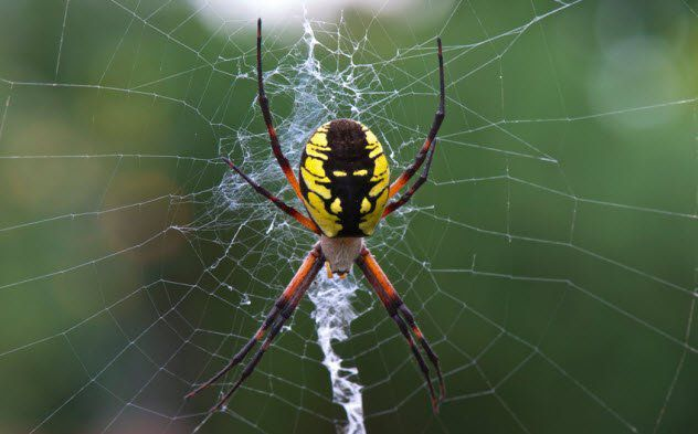 عنكبوت الحديقة الأسود والأصفر