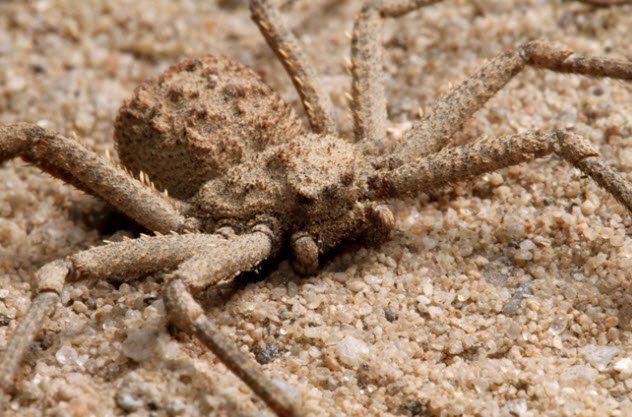 عنكبوت الرمال ذو الستة أعين