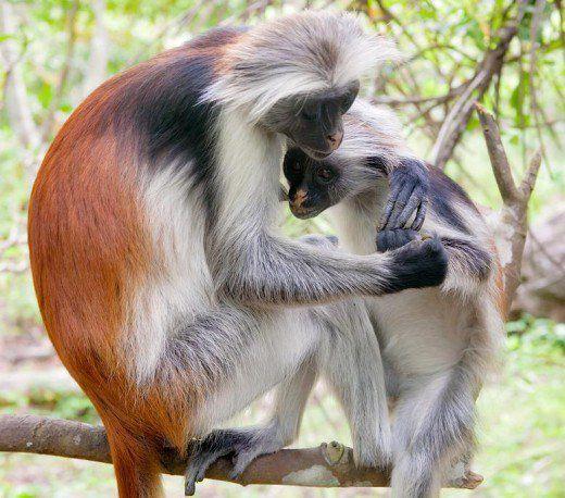 القرد الأحمر زنجبار