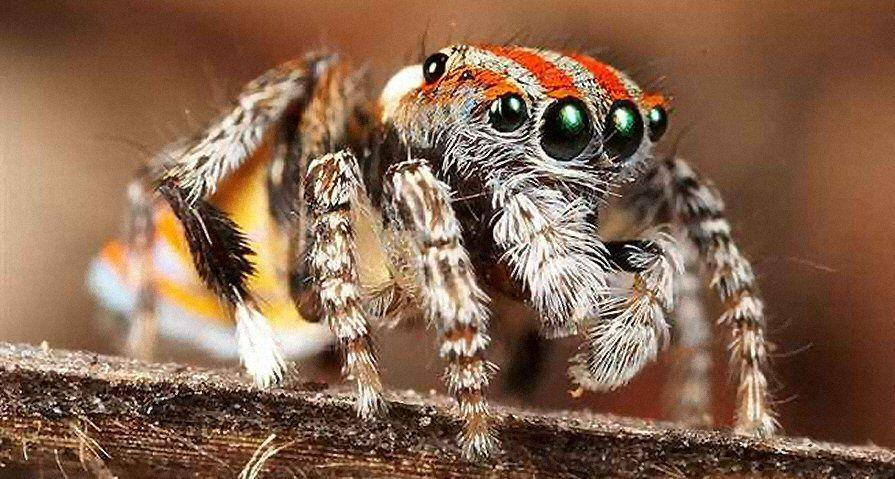 عنكبوت الطاووس الإسترالي