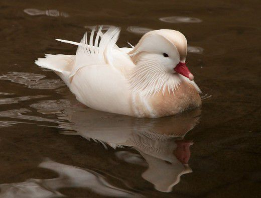 طيور لم تراها من قبل Aix-Galericulata