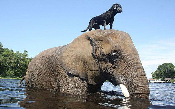 الفيل الأفريقي وبيلا لابرادور الأسود
