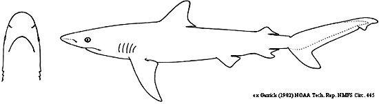 صور حقائق عن القرش المعتم 2017 video Carcharhinus-obscuru
