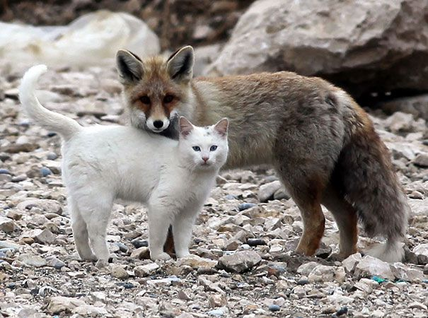 Cat and the Fox in Turkey