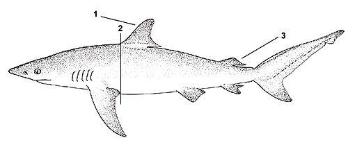 صور حقائق عن القرش المعتم 2017 video Dusky-shark-Carcharh