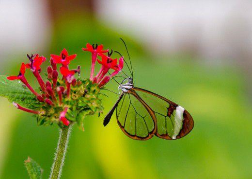 طيور لم تراها من قبل Glasswing-Butterfly-Greta-Oto