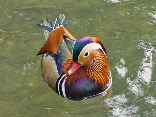 طيور لم تراها من قبل Mandarin-Ducks-Aix-Galericulata