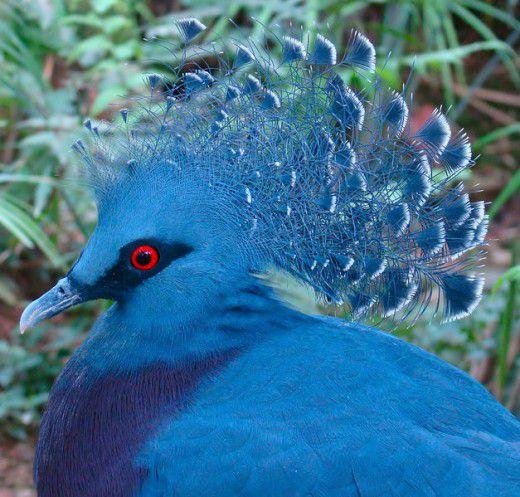 طيور لم تراها من قبل Victoria-Crowned-Pigeon-Goura-Victoria