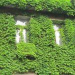 كيف تقضي على نبات اللبلاب السام في حديقة منزلك ؟