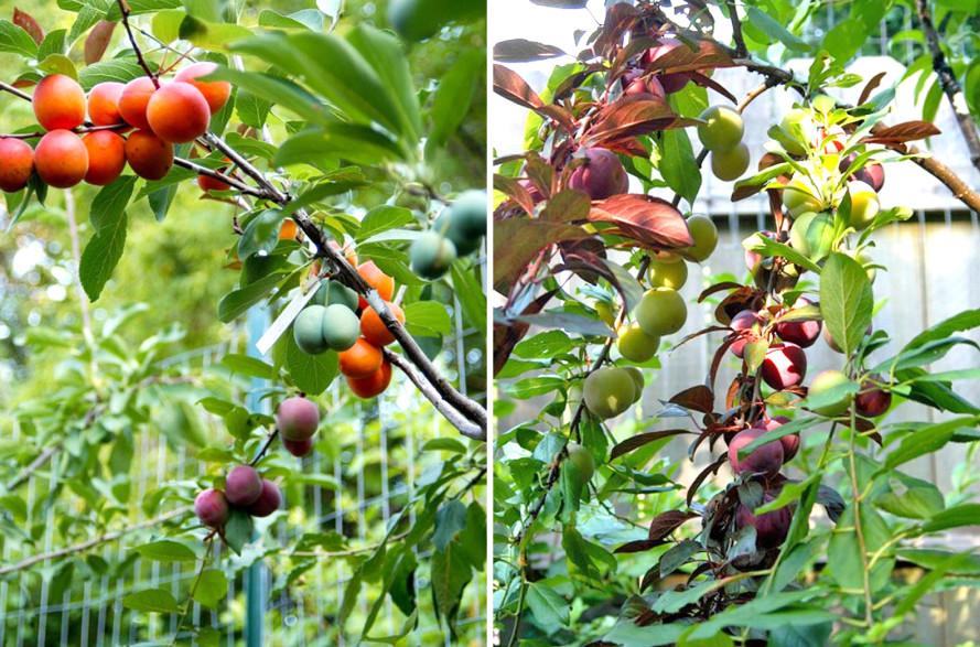 هل سمعت عن شجرة تثمر أربعين نوع من الفاكهة؟ %D8%AB%D9%85%D8%A7%D8%B1-%D8%A7%D9%84%D8%B4%D8%AC%D8%B1%D8%A9