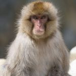 3. Japanese Macaque - 455885