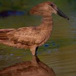 Hamerkop can survive around 20 years in the wild. - 455066