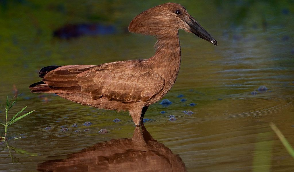 Hamerkop can survive around 20 years in the wild.