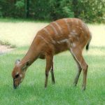 Sitatunga Facts, History - 452993