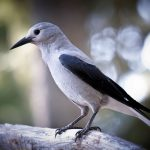 The Clark's Nutcracker - 450082
