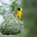 اغرب أعشاش الطيور