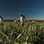 اكثر الدول انتاجا لقصب السكر