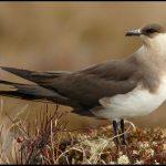 معلومات عن طائر كركر قطبي
