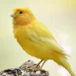 طرق العناية بـ عصافير الكناري في المنزل