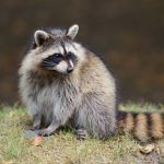 2. Raccoon - 469218