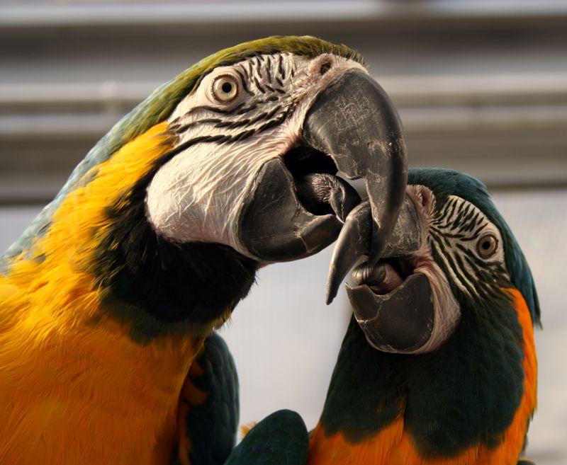 اكثر 10 حيوانات معمرة في العالم 8.-Macaws