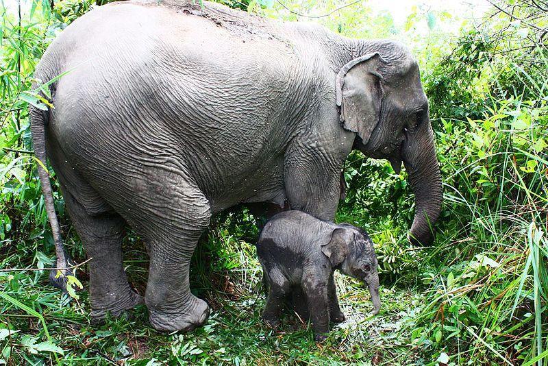 اكثر 10 حيوانات معمرة في العالم 9.-Asian-elephants