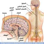 بالصور كيف يعمل كل جزء في الدماغ البشري