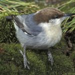 Brown-headed nuthatch - 469148