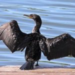 Cormorants can be harmed by environmental pollution such as oil - 460845