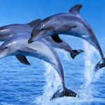 Dolphins - 465827