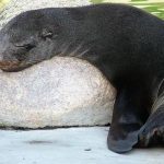 Fur seals tend to return to specific beaches - 469584