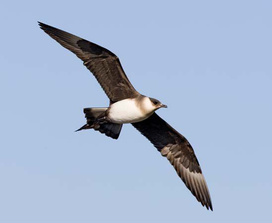 طائر كركر قطبي Parasitic-Jaeger.jpg