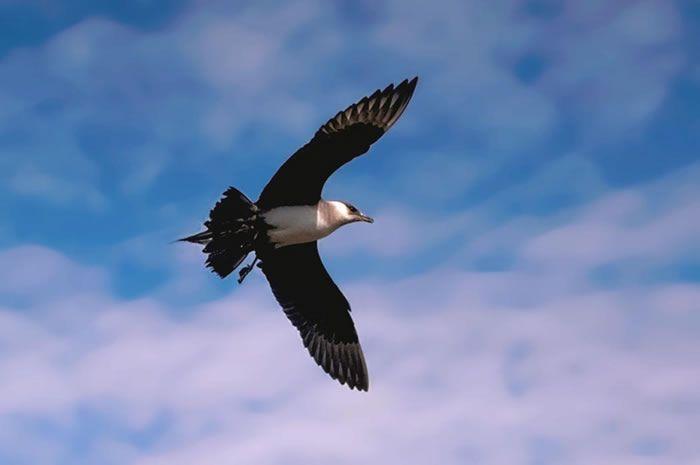 طائر كركر قطبي Parasitic-jaeger-Ste