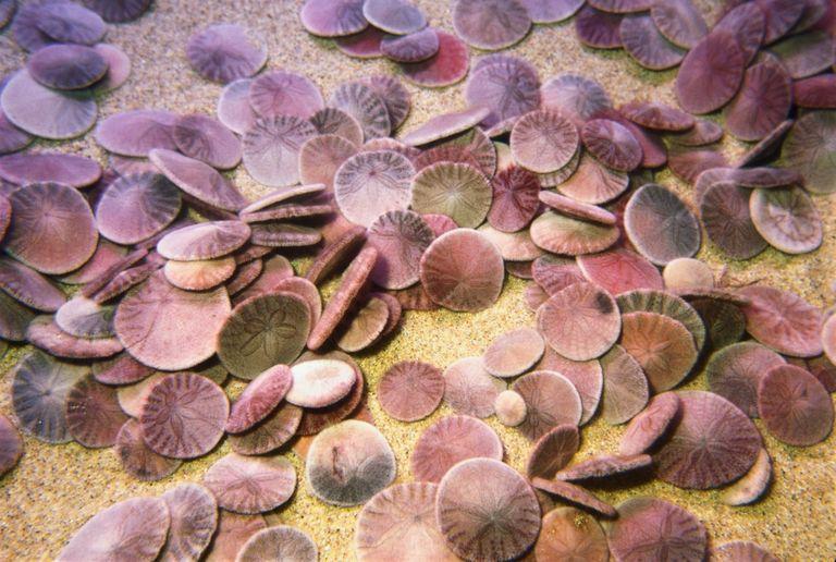 دولار الرمل Sand-dollars-Echinod