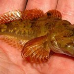 dense sculpin populations - 460406