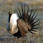 male gunnison sage-grouse - 463782