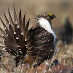 the Greater Sage-Grouse. - 463792