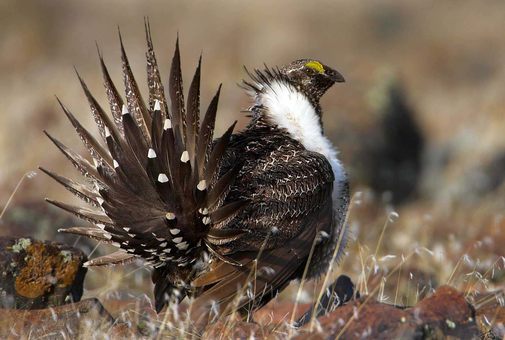 the Greater Sage-Grouse.