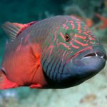 معلومات عن سمك اللبروس