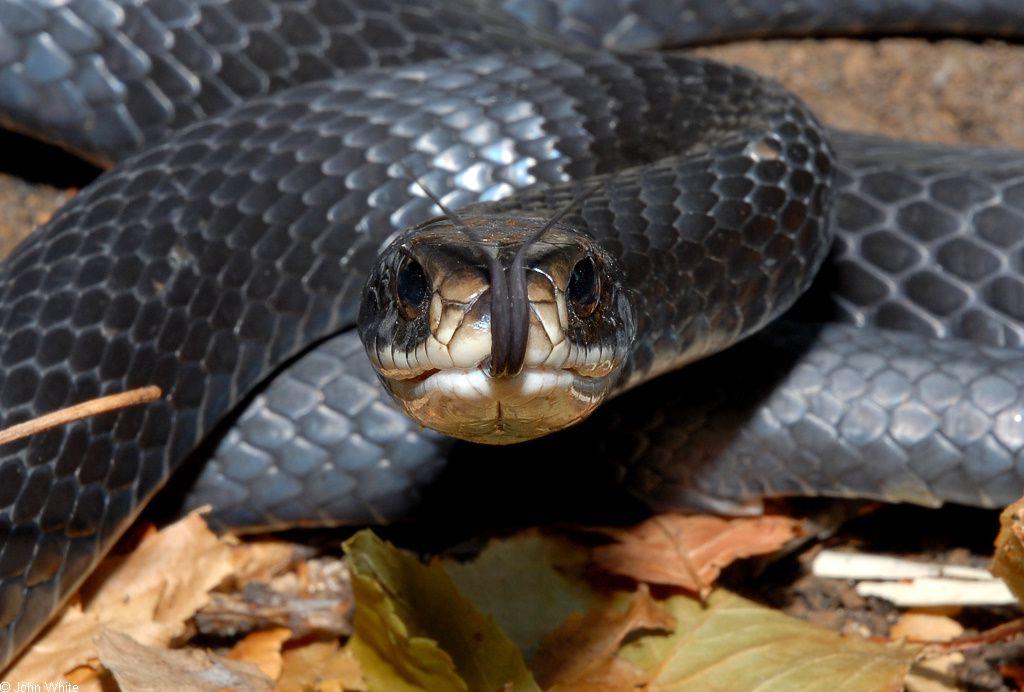 ثعبان راسرة جنوبية سوداء Black-Racer-snake.jp