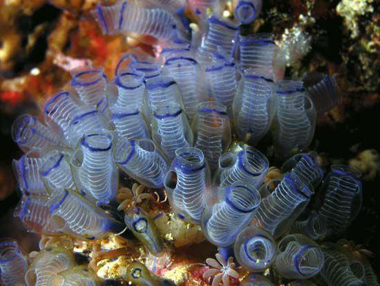 معلومات عن نافورات البحر Blue-spot-sea-squirt
